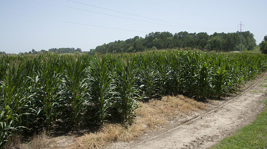 This is an image of corn growing at the North Farm at Mississippi State University