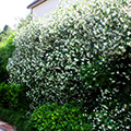 Flowering confederate jasmine grows well in Mississippi landscapes. Photo by MSU Extension Service/Gary Bachman.