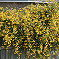Yellow flowering climbing plant. Photo by MSU Extension Service/Gary Bachman.