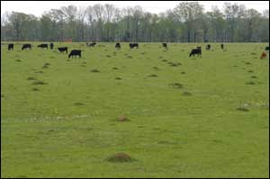 Fire ant densities in pastures can range from around 50 to more than 200 mounds per acre.