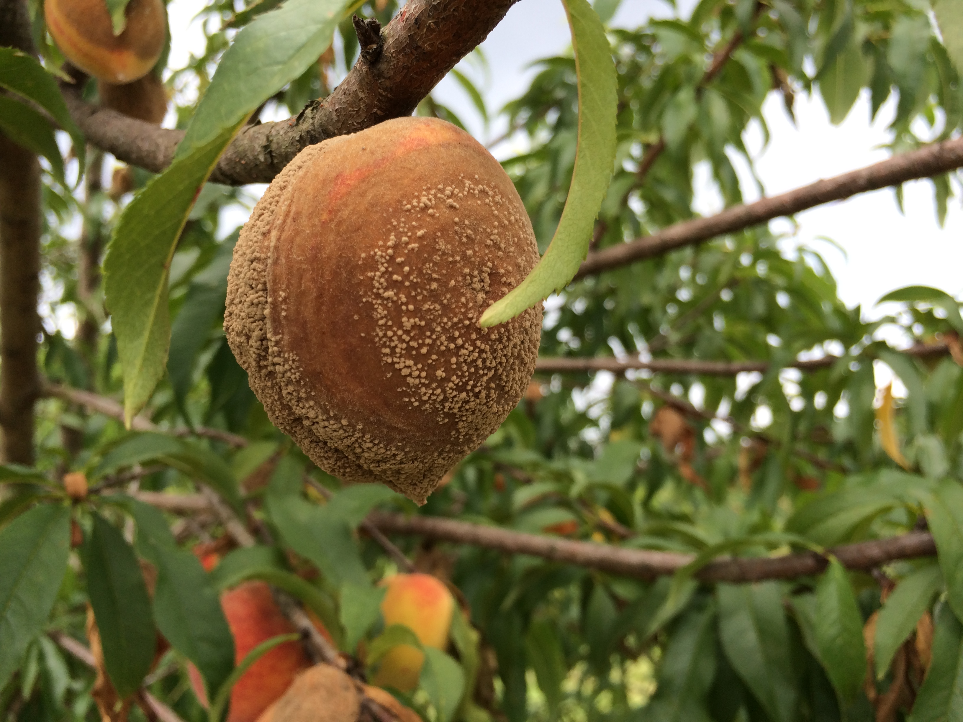 Symptoms and signs of brown rot on peach.