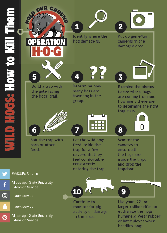 infographic describing steps on how to kill wild hogs