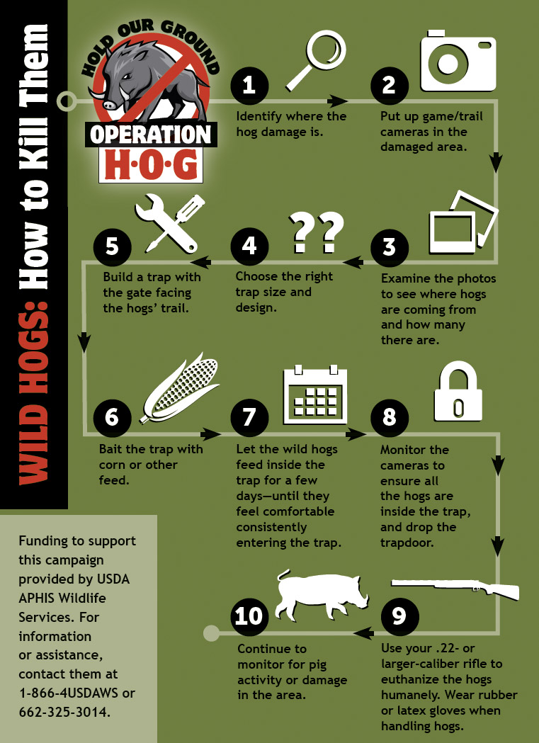 An infographic depicts the steps to follow to successfully bait, trap, and euthanize wild hogs.