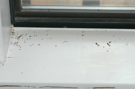 The smaller insects are ants, but there are four dead termite swarmers on this windowsill, three with wings and one without.