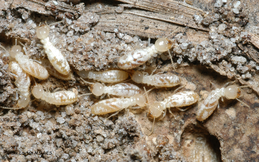 an image of eastern subterranean termite workers