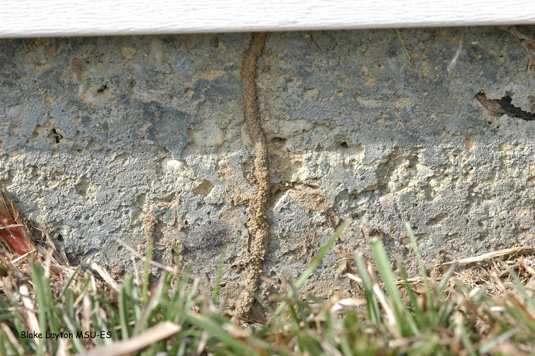 Termites have built a shelter tube up the exterior edge of this slab to enter the house beneath the lower edge of siding.