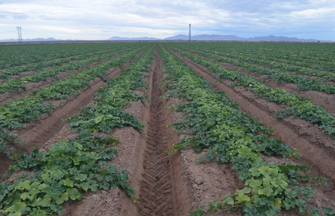 A melon field in California with plants infected with both cucurbit chlorotic yellows virus and cucurbit yellow stunting disorder virus.
