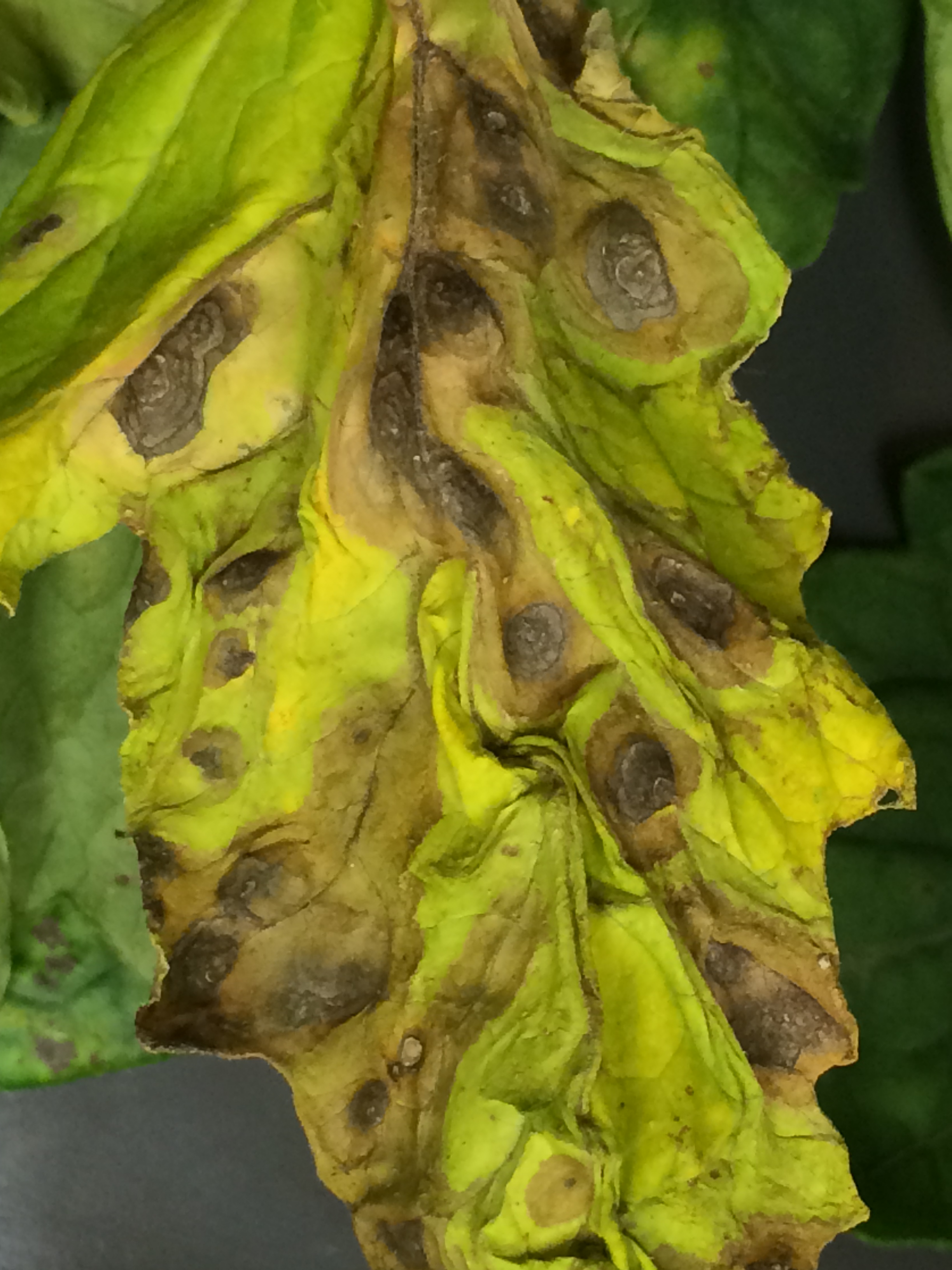 Symptoms of early blight on a tomato leaflet.