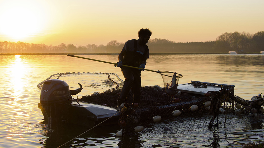 man standing in a motorboat using a large fishing net to catch catfish against an orange sunrise