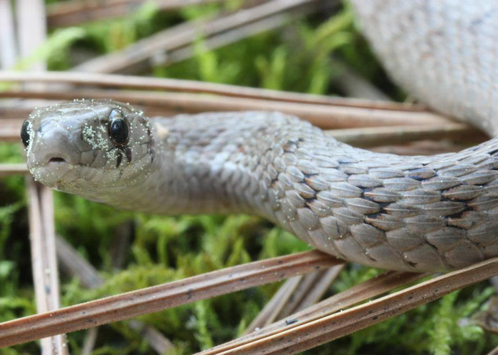 brown snake, showing nonvenomous characteristics including round pupils and an oval, elongated head.