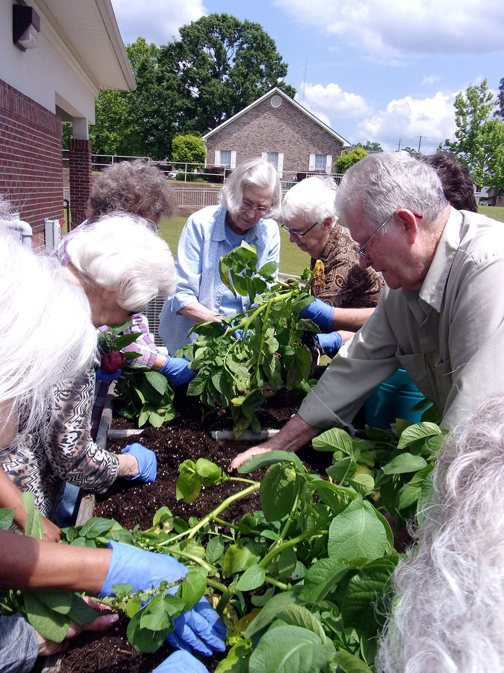 People surround a waist-high elevated gardening bed as they dig up potatoes grown in the bed.