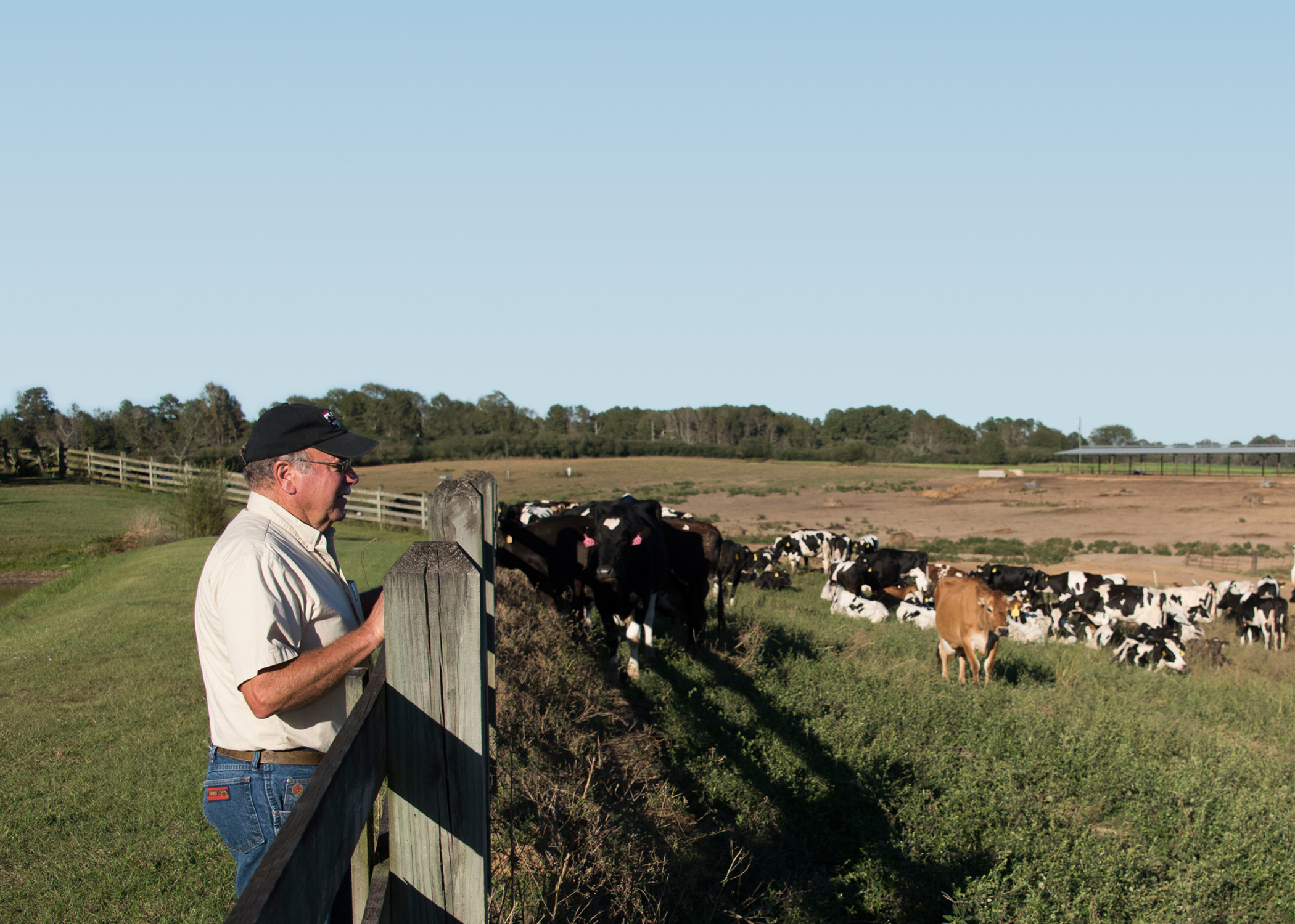 A man leaning on a wooden fence while gazing at a pasture filled with dairy cattle.