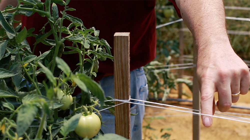 Tomatoes Staking Mississippi State University