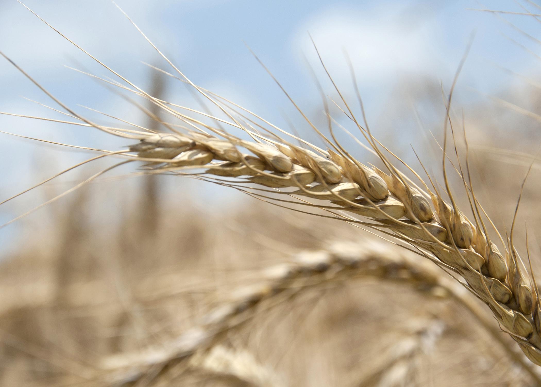 Winter Wheat Planting