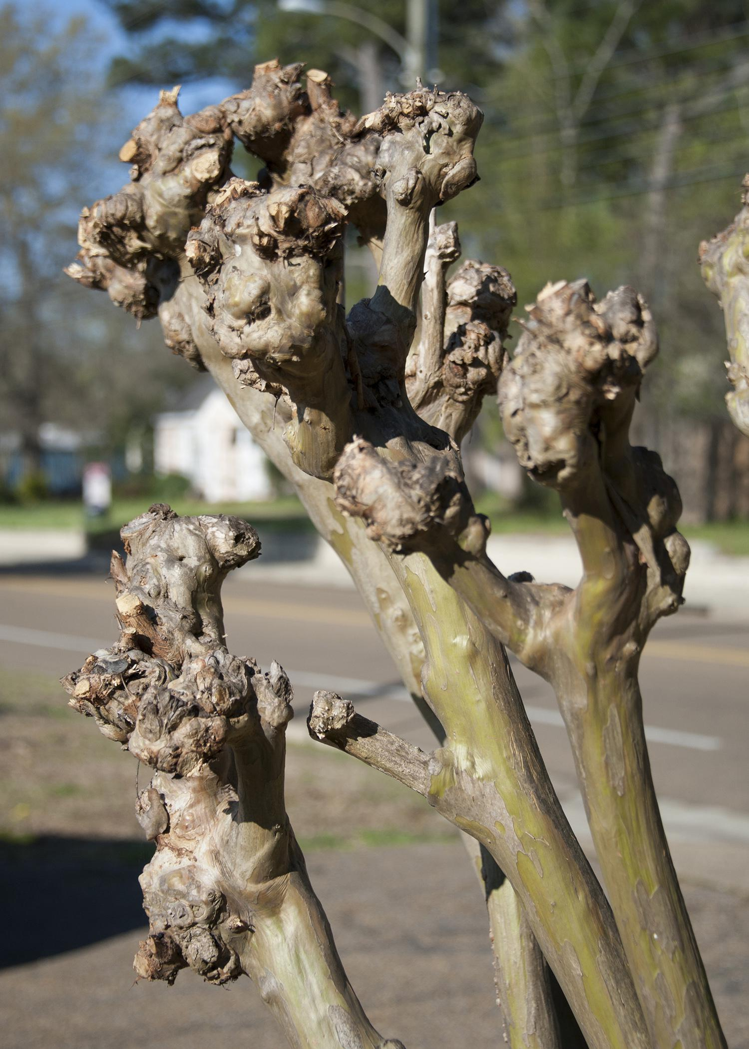 A severely pruned crape myrtle displays large knobs instead of smooth branches.