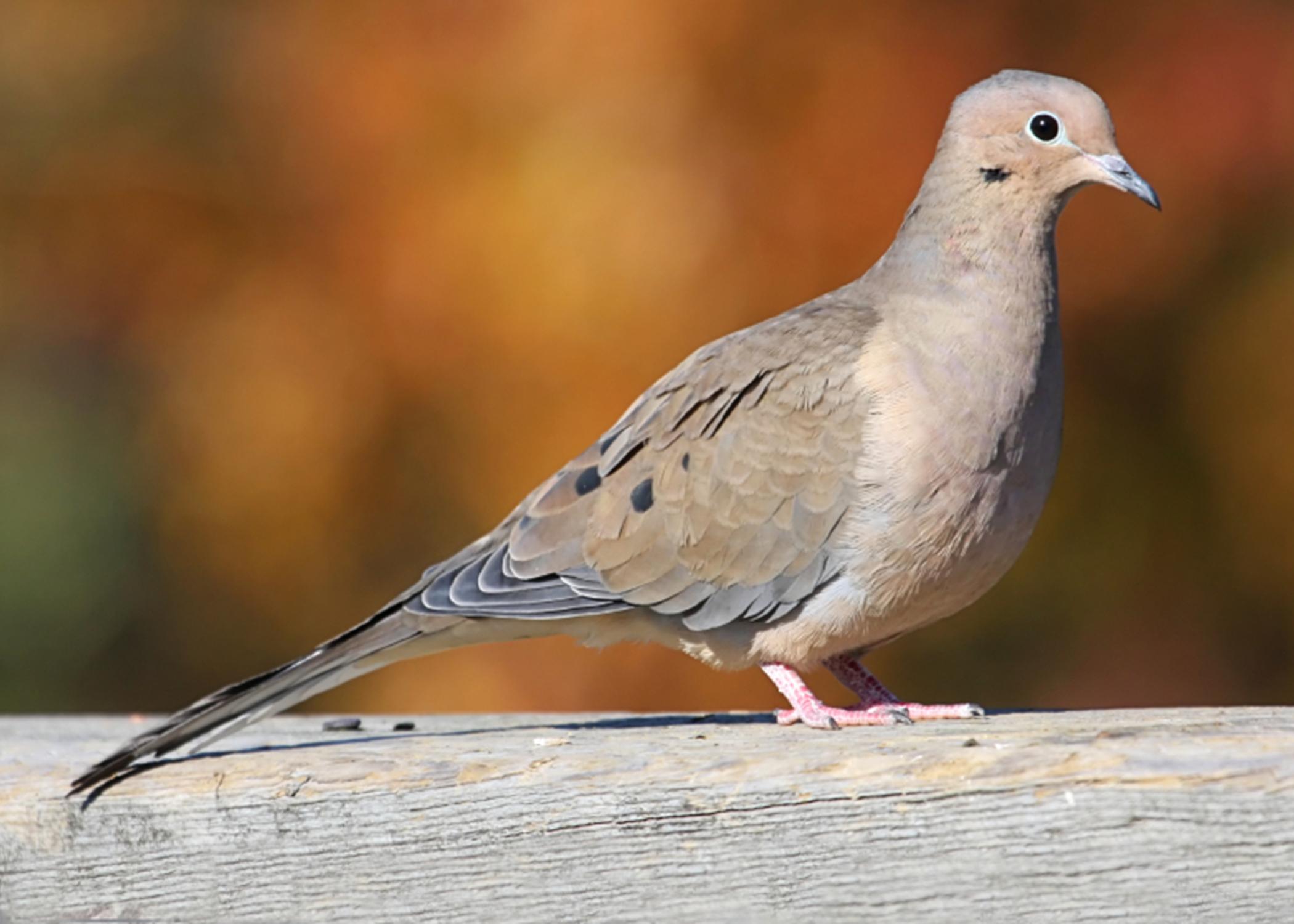 Mourning doves bring enjoyment, recreation | Mississippi ...