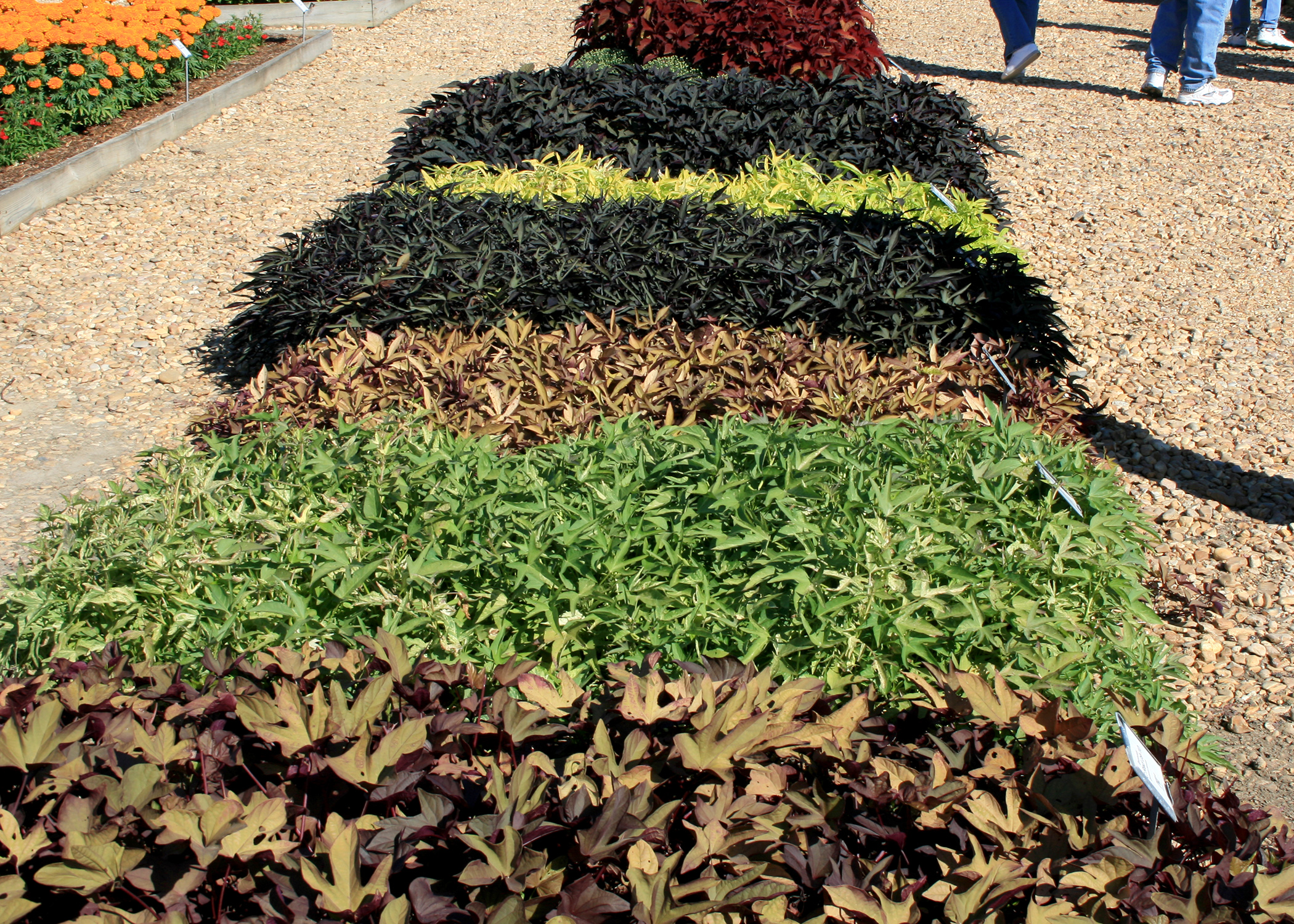 The Ornamental Sweet Potato Is A Go To Choice For Large Areas That Need Some
