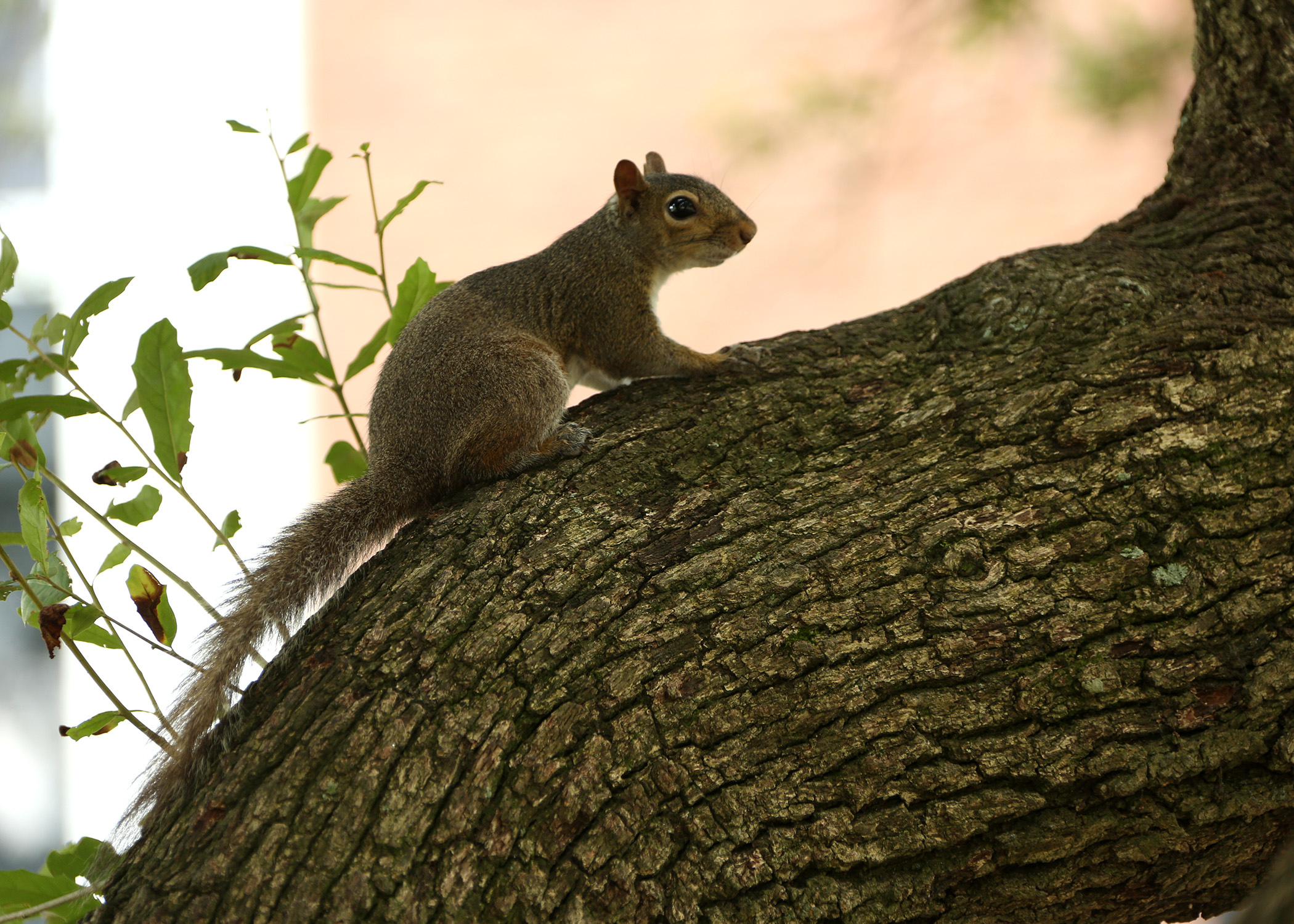 Protect Homes From Squirrel Invasions Mississippi State