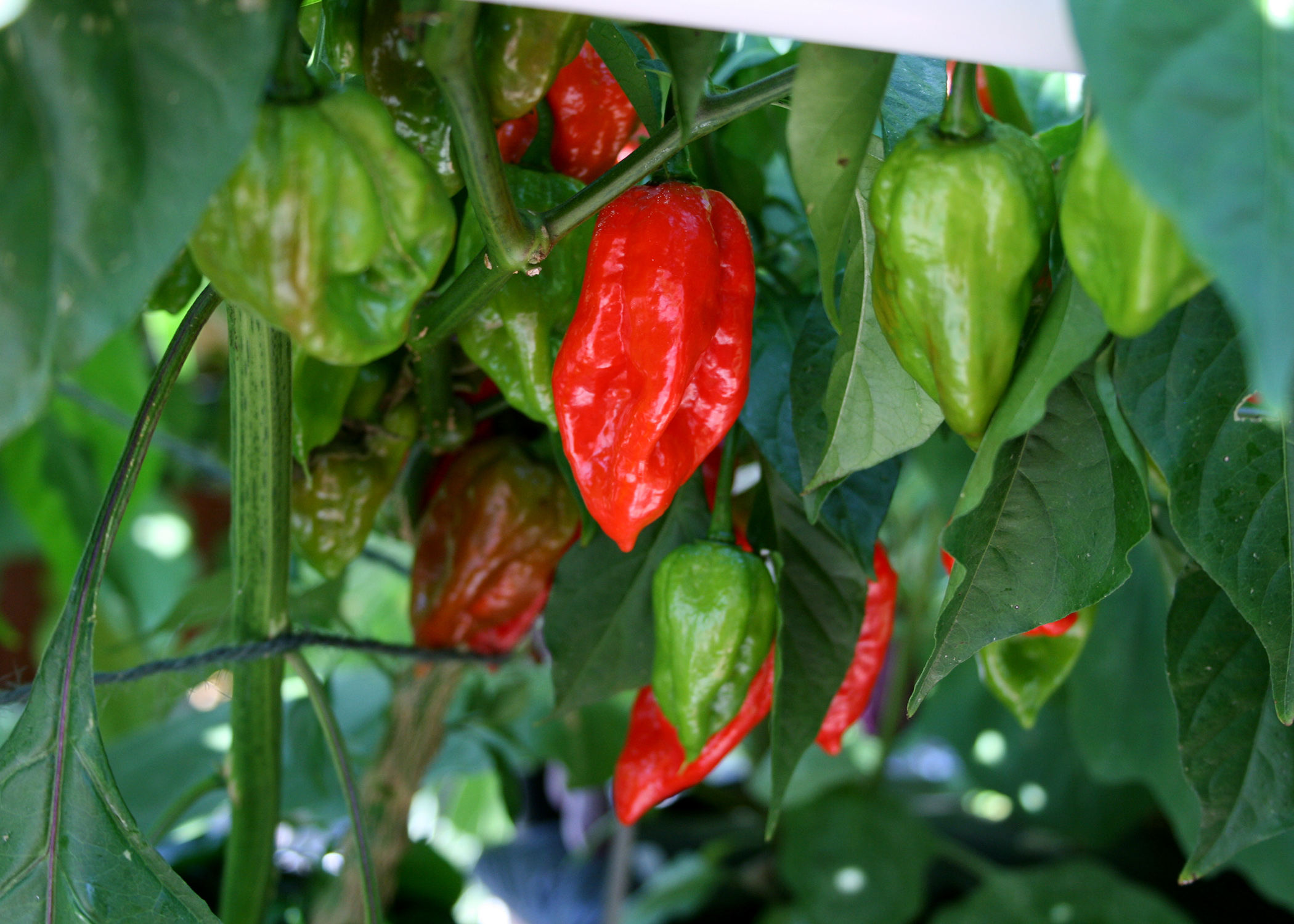 Hot and sweet peppers produce best in the fall | Page 14