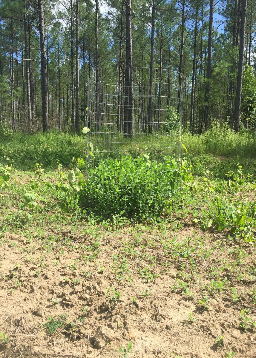 A 3-foot-diameter cage made from 48-inch-tall, 2x4-mesh welded wire makes a good exclosure to exclude animals from forages growing in a food plot. The size difference reveals how well plants are growing without wildlife grazing. (Photo by MSU Extension Service/Jacob Dykes)