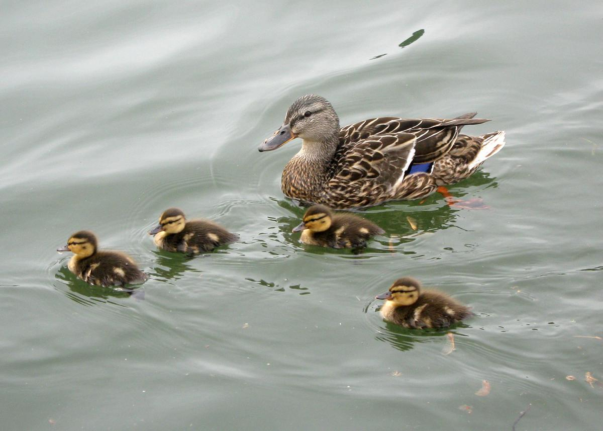 These ducklings will depend on their mother for protection and guidance until they are mature enough for their own adventures. (MSU Extension Service file photo)