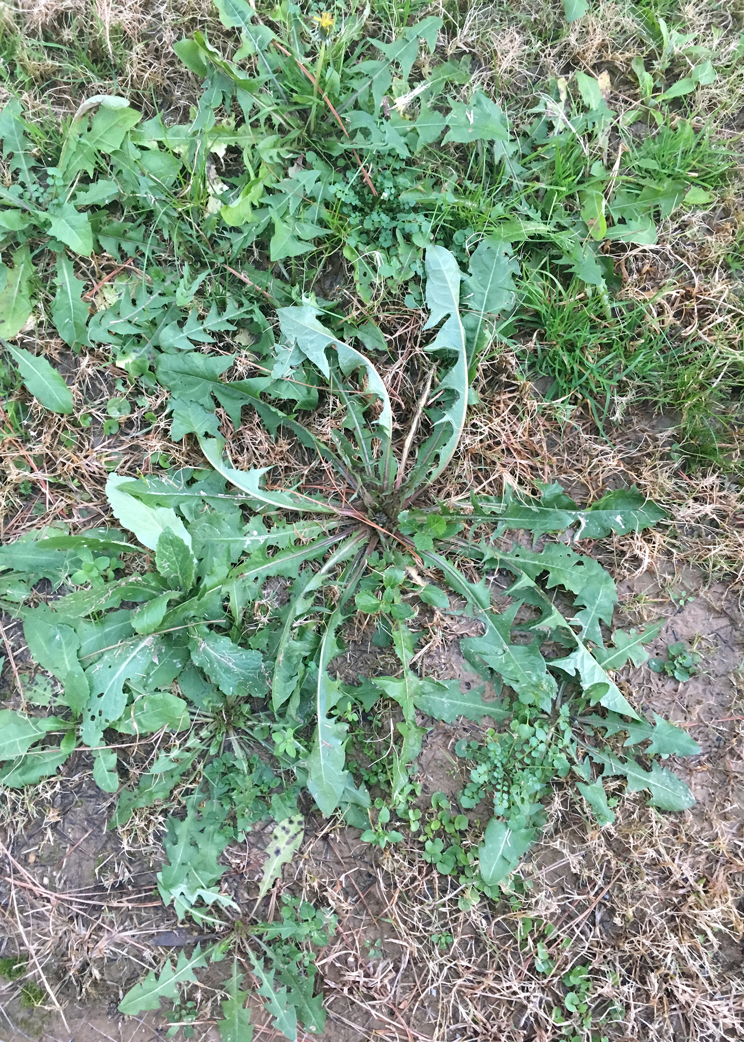 Unwanted Yard And Flowerbed Weeds Such As This Common Dandelion Can Be Avoided By Using Herbicides