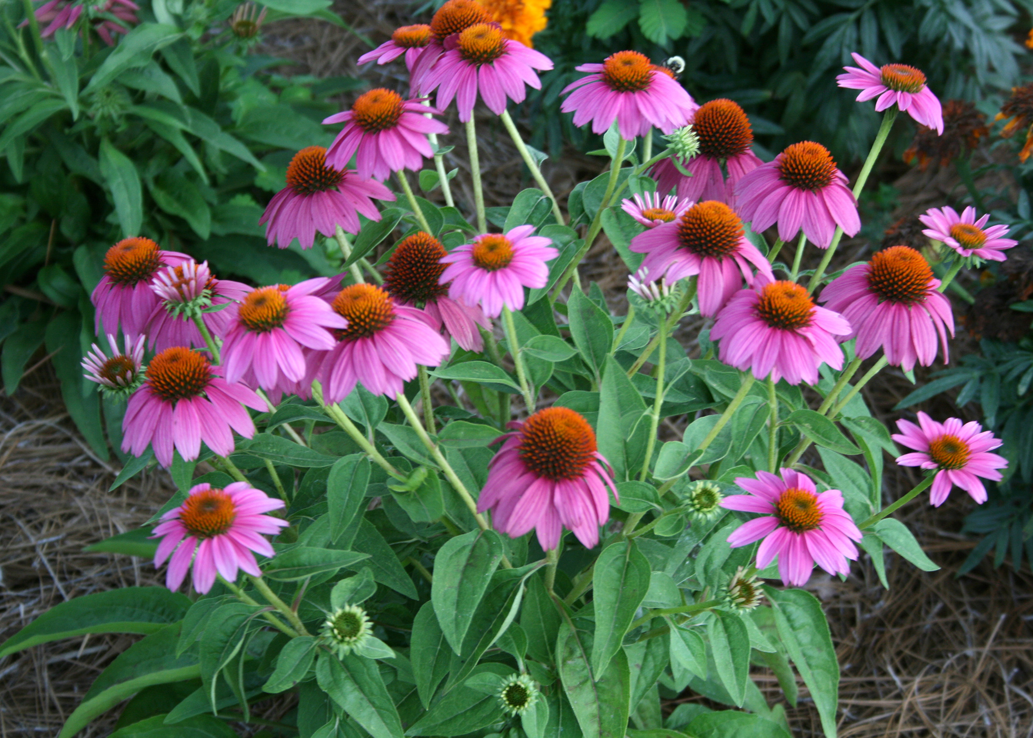 Pow Wow Wild Berry Coneflower Grows To About 20 Inches Tall And Produces Continuous Blooms