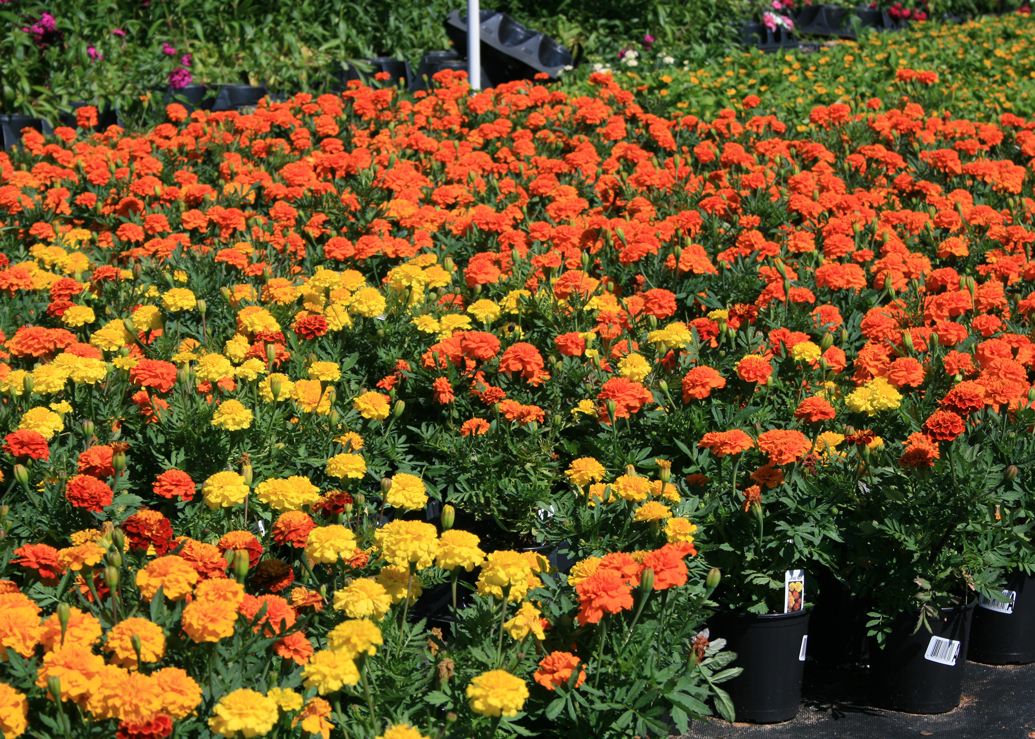 The Rich Colors Of Janie Deep Orange And Other Marigolds Make Them Ideal Companion Plants For