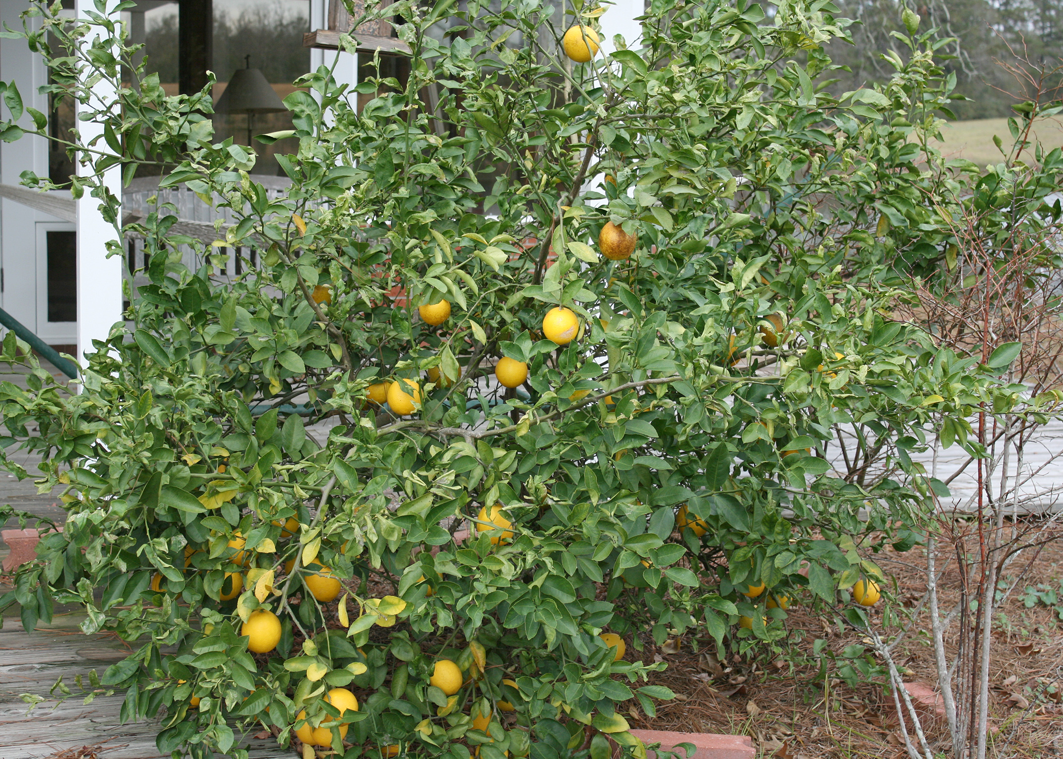 Citrus Trees Such As This Meyer Lemon Perform Well In Mississippi But They Need Protection