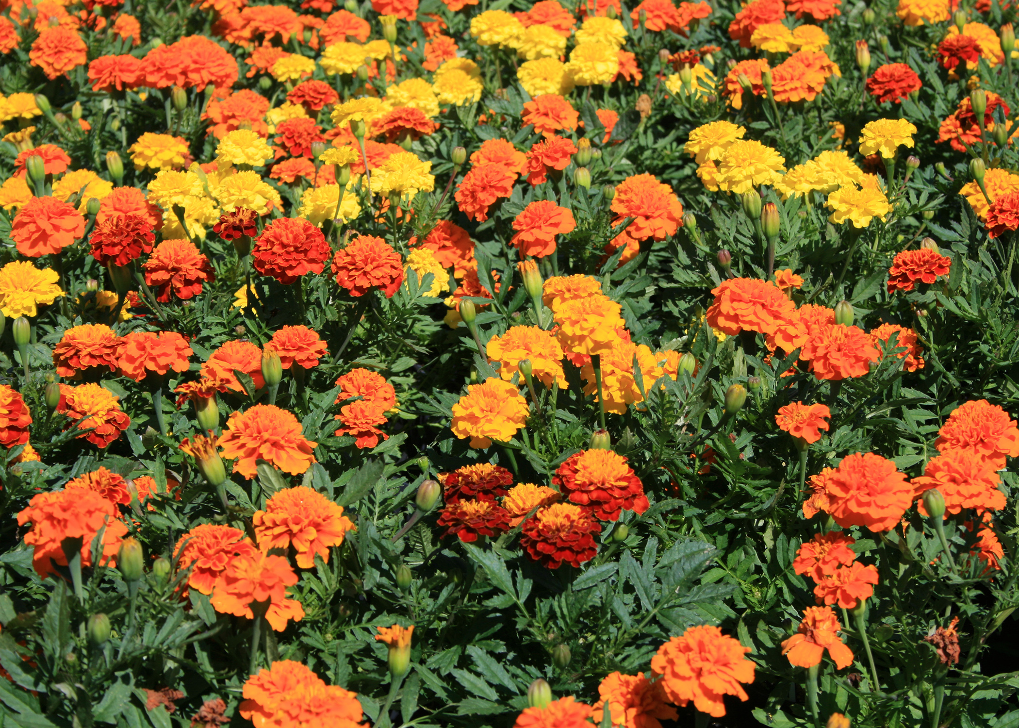 Although the plants can tolerate shady conditions, the brilliant colors of Alternanthera, such as this Brazilian French marigolds are smaller and have more variety than American marigolds. These vivid colors and prolific flowers make it obvious why Janie is a popular variety. (Photo by MSU Extension/Gary Bachman)