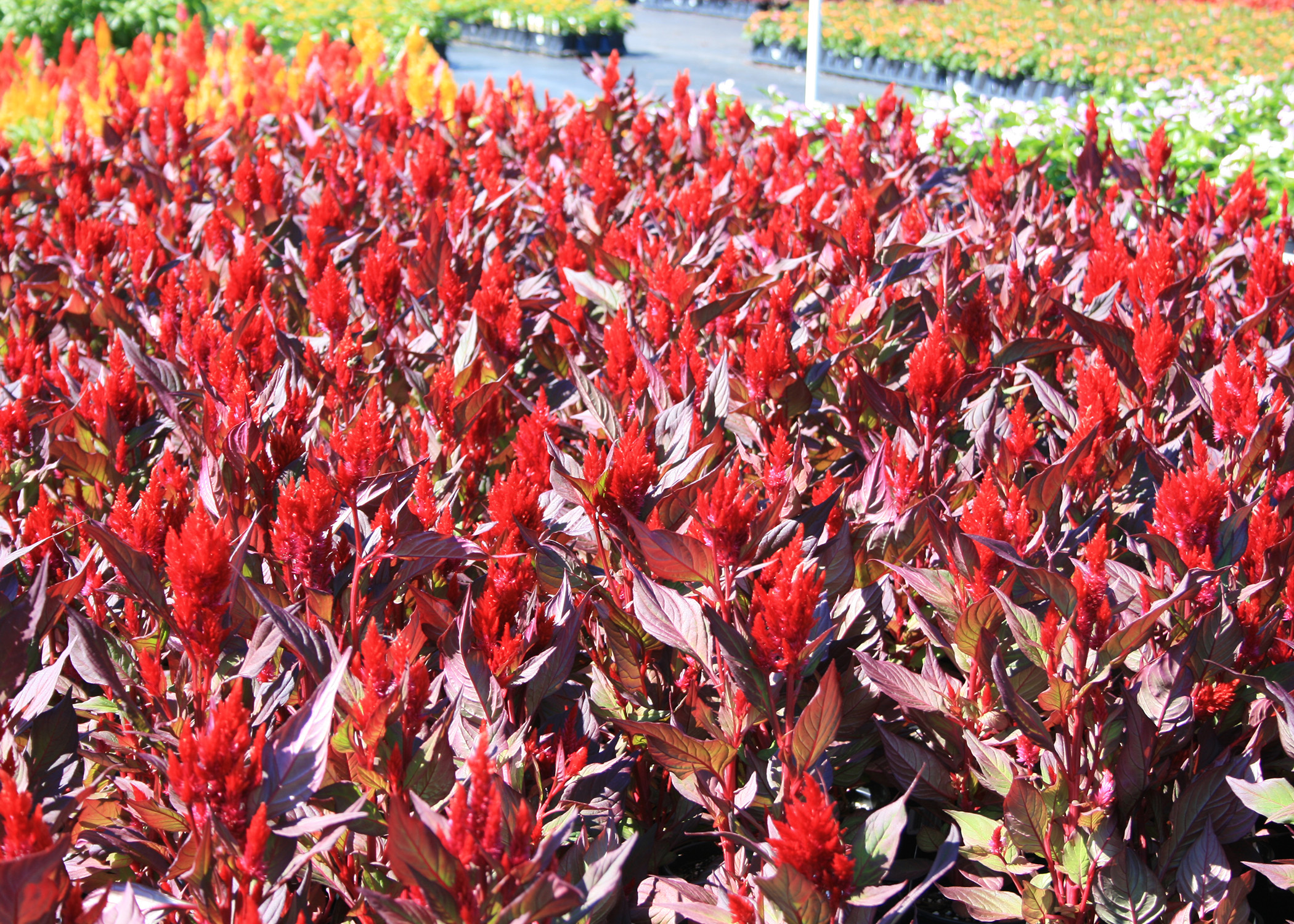 New Look celosia defies the intense heat and humidity of Mississippi summers to produce dark foliage and large plumes of intense colors. (Photo by MSU Extension/Gary Bachman)