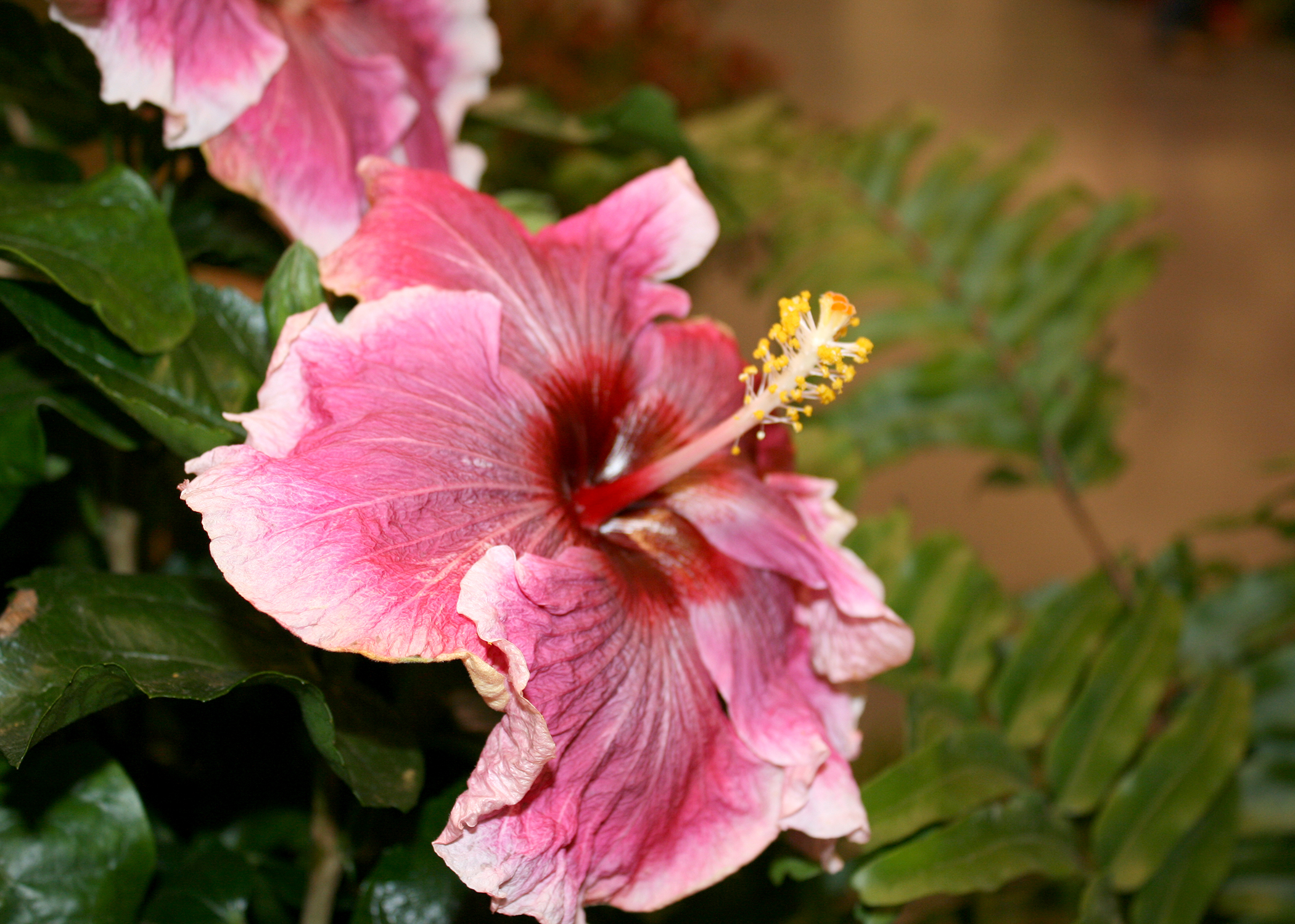 Cajun hibiscuses such as this Hotsy Totsy are tropical plants with exciting colors. Blooms can exceed 9 inches across, and foliage is dark green and glossy. (Photo by MSU Extension/Gary Bachman)