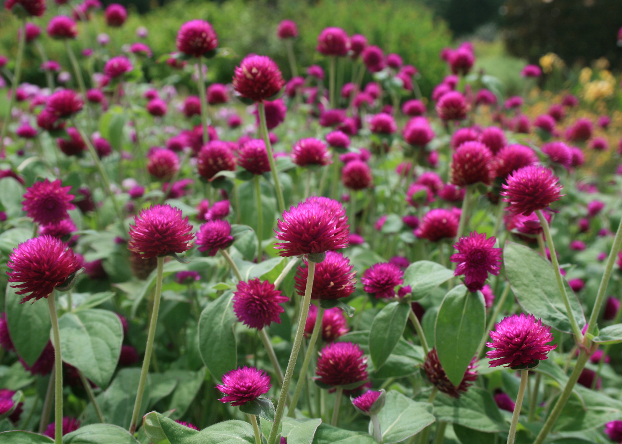 Gomphrena Fireworks was chosen as a Mississippi Medallion winner in 2010. It is a big plant that makes a colorful impact in the landscape. (Photo by MSU Extension/Gary Bachman)