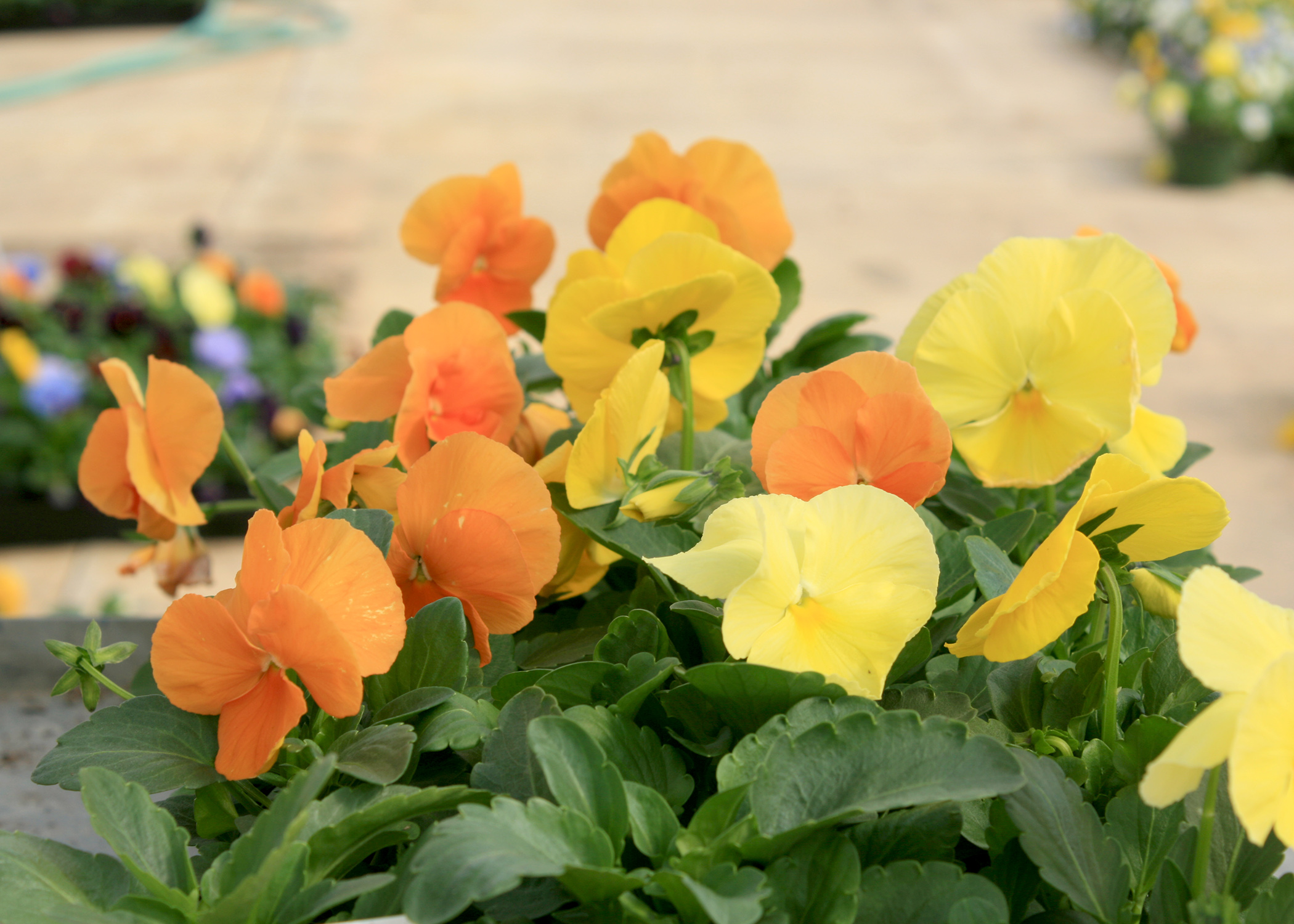 Pansies such as this Amber Mix Matrix selection without the traditional dark blotch are referred to as clear and are great for displaying pure color. (Photo by MSU Extension Service/Gary Bachman)