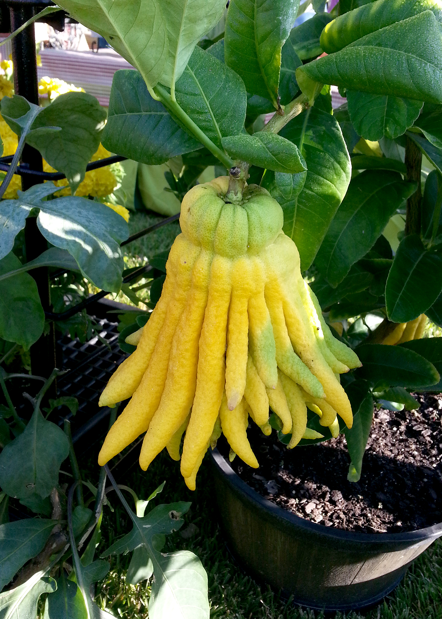 Buddha Hand is a strange-looking citrus that is used as zest for flavoring or as the strange, candied fruit in holiday cakes. (Photo by MSU Extension/Gary Bachman)