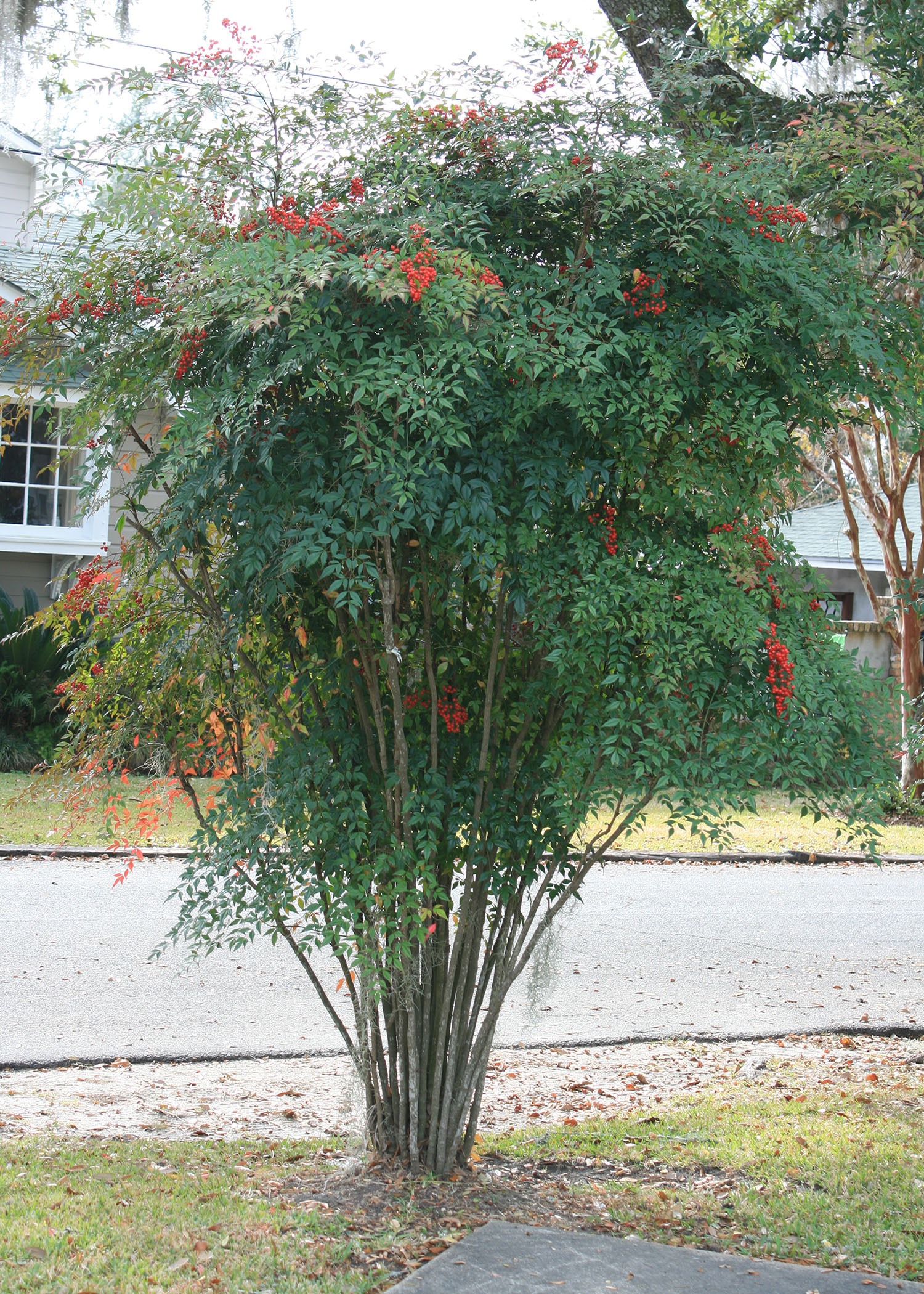 Small Space Gardening Nandina Offers Foliage Color Through Winter Mississippi