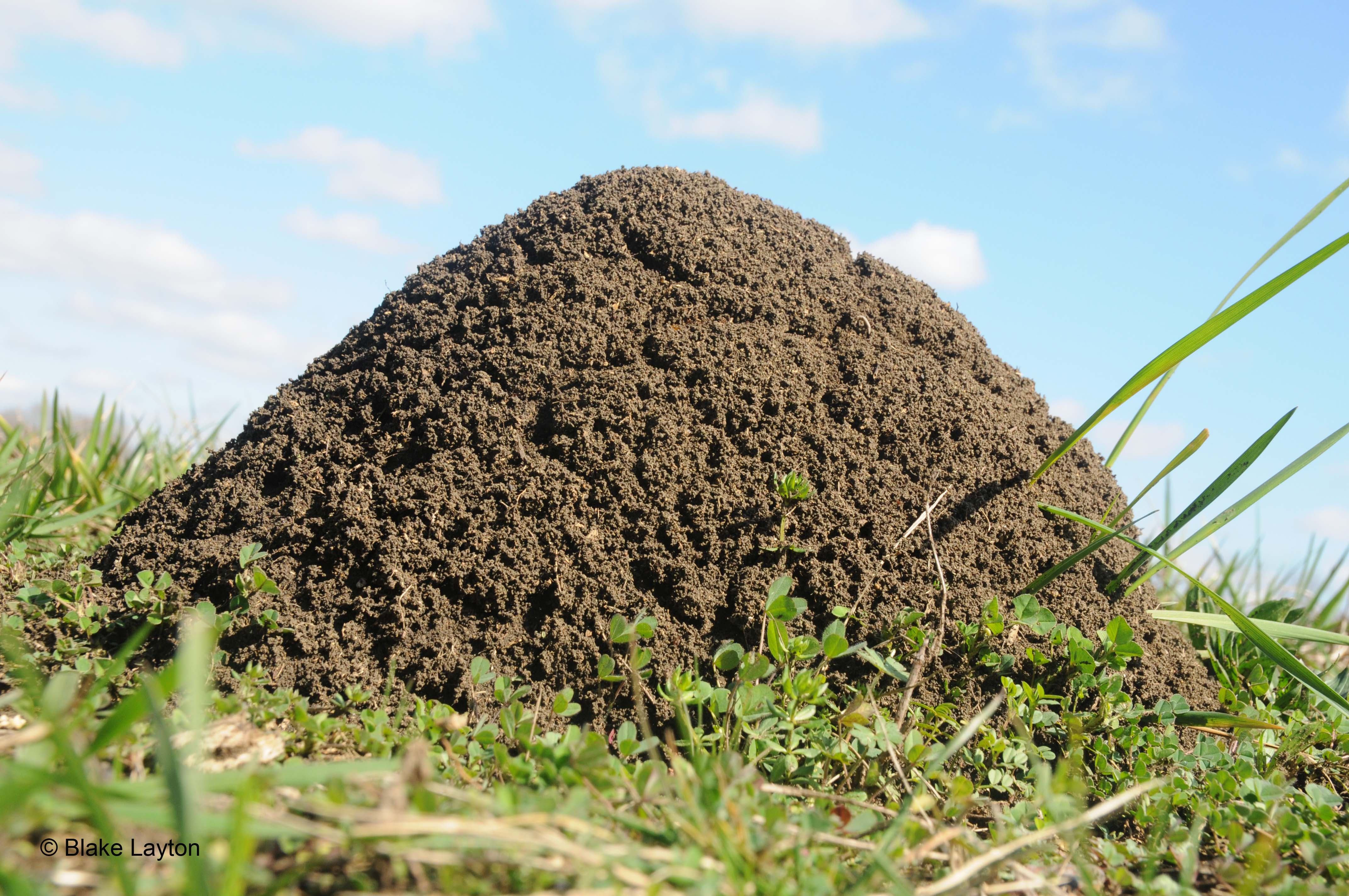 a large fire ant mound