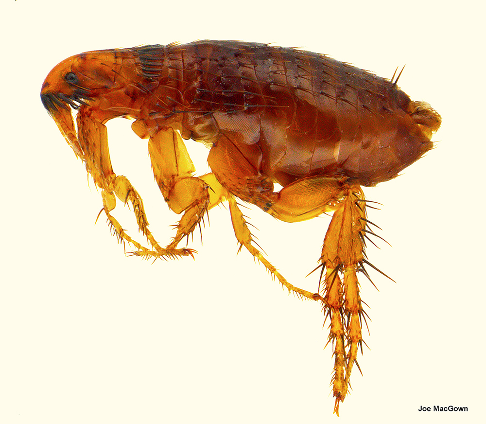 A cat flea magnified.