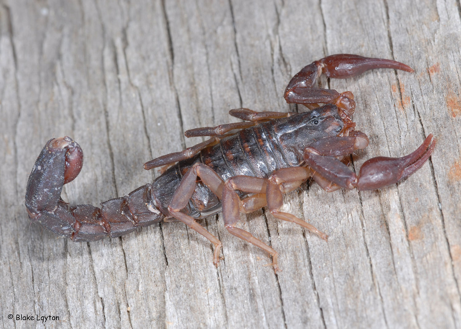 A Southern Devil Scorpion on a plank of wood.