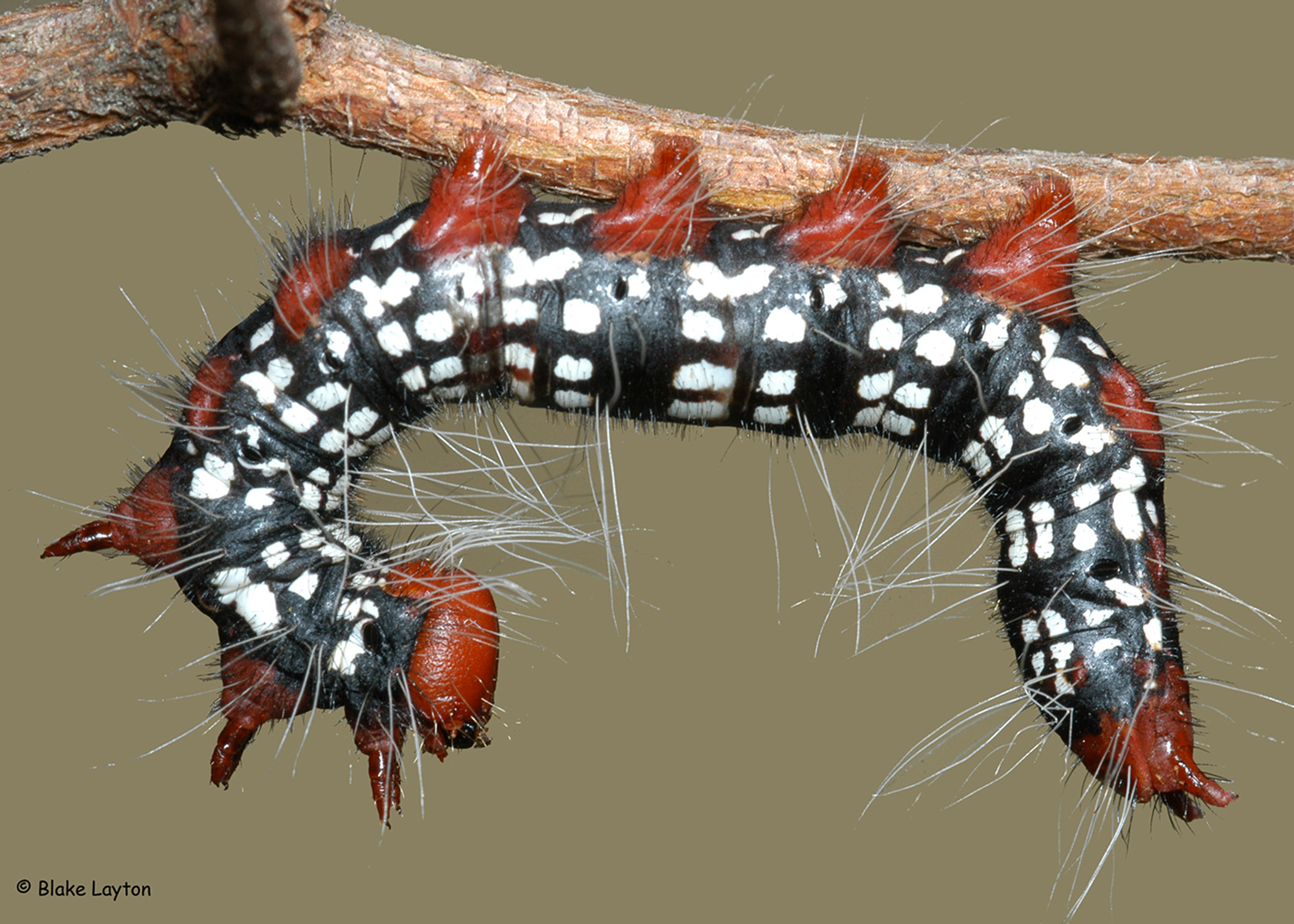This azalea leaf caterpillar has black, white, and red markings.