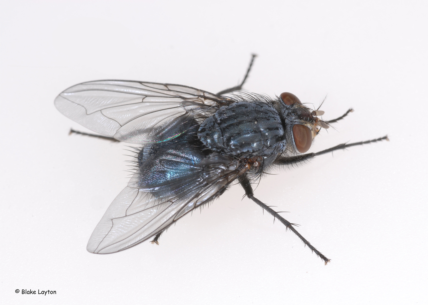 A fly with a shimmery blue color.