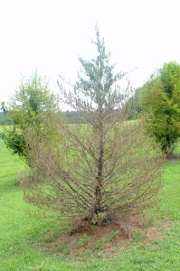 Bare, brown evergreen tree.
