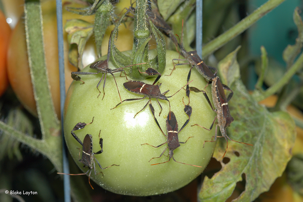 Leaffooted bugs on a green tomato.