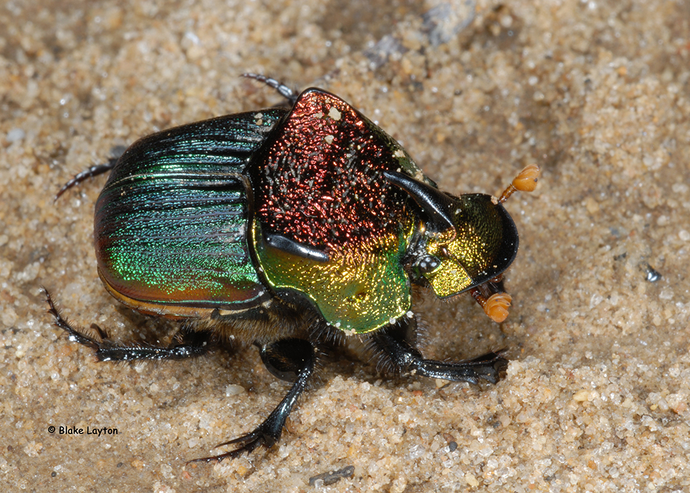 a very colorful beetle.