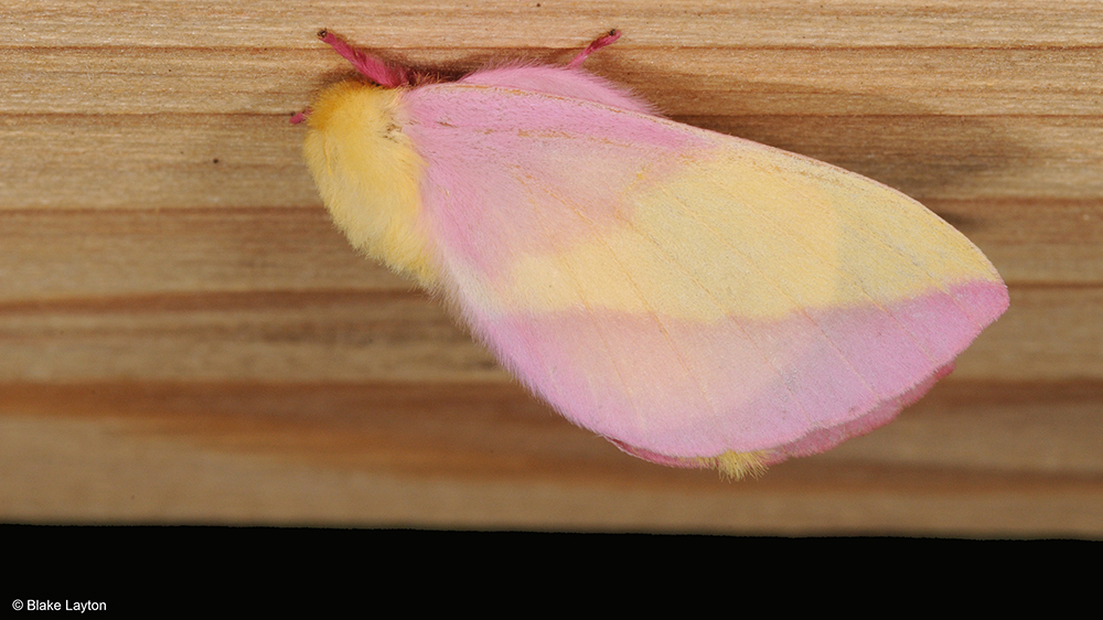 A pink and yellow striped moth on a piece of wood.