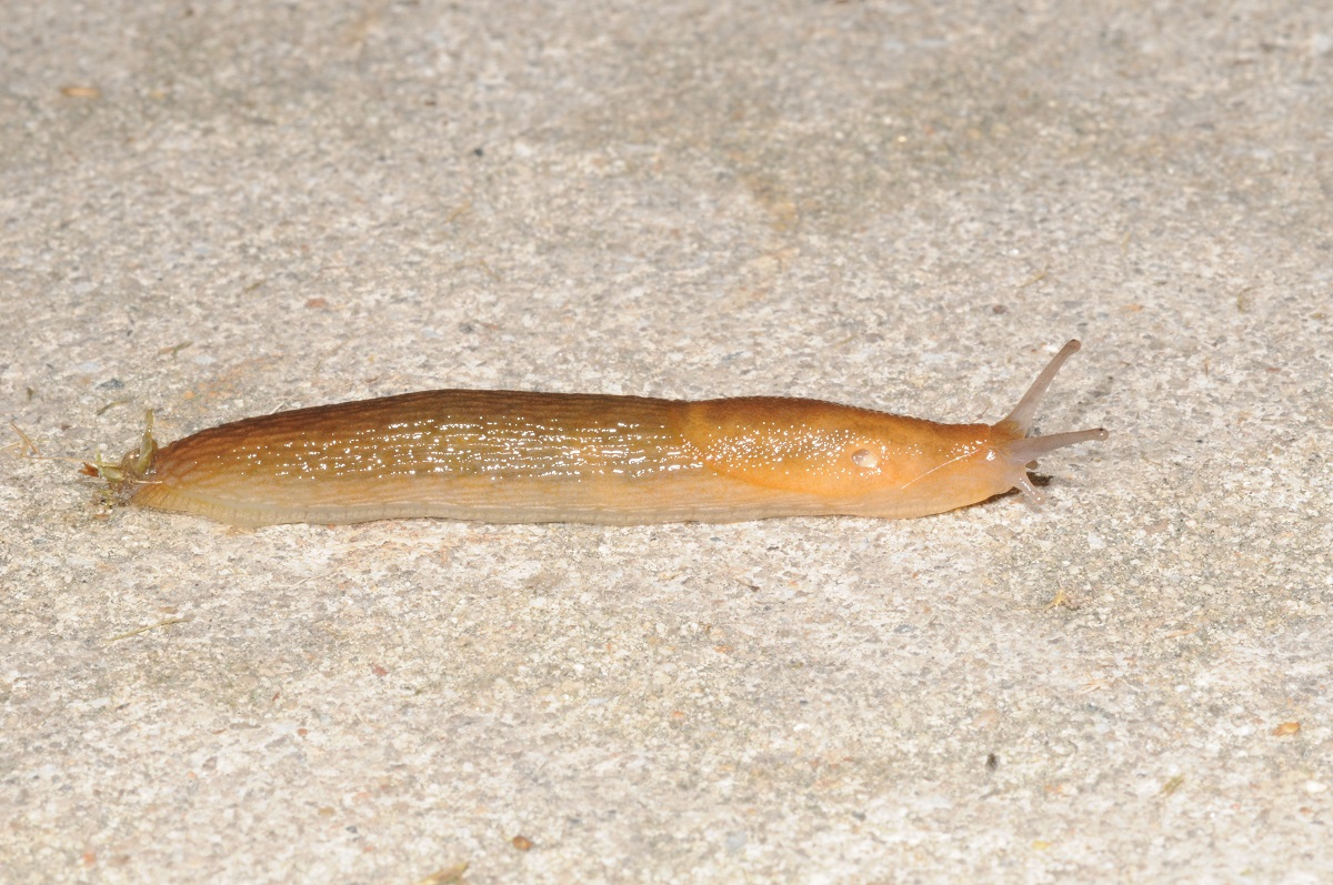 a slimy slug crawling on a concrete sidewalk..