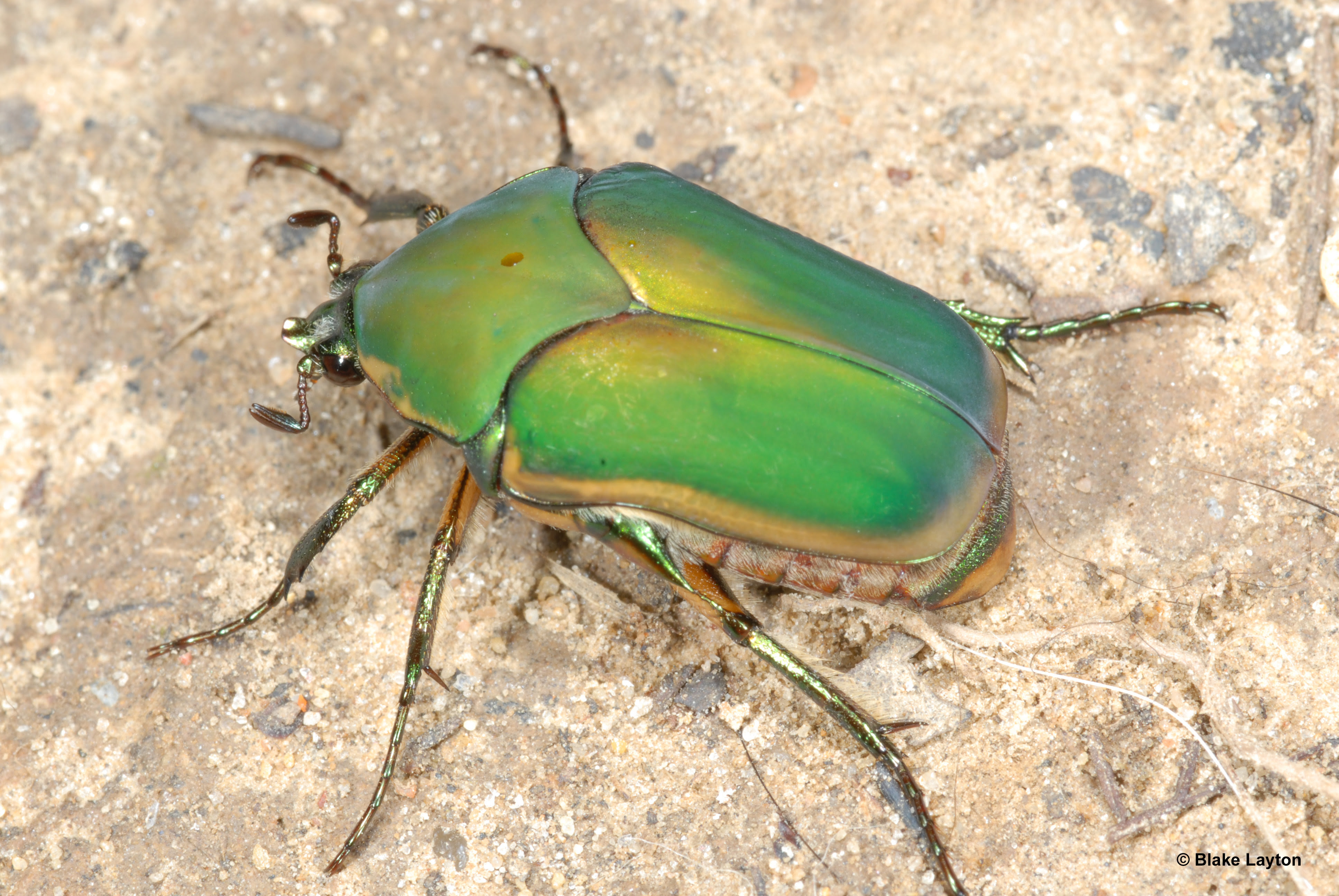 Green iridescent beetle with six legs.