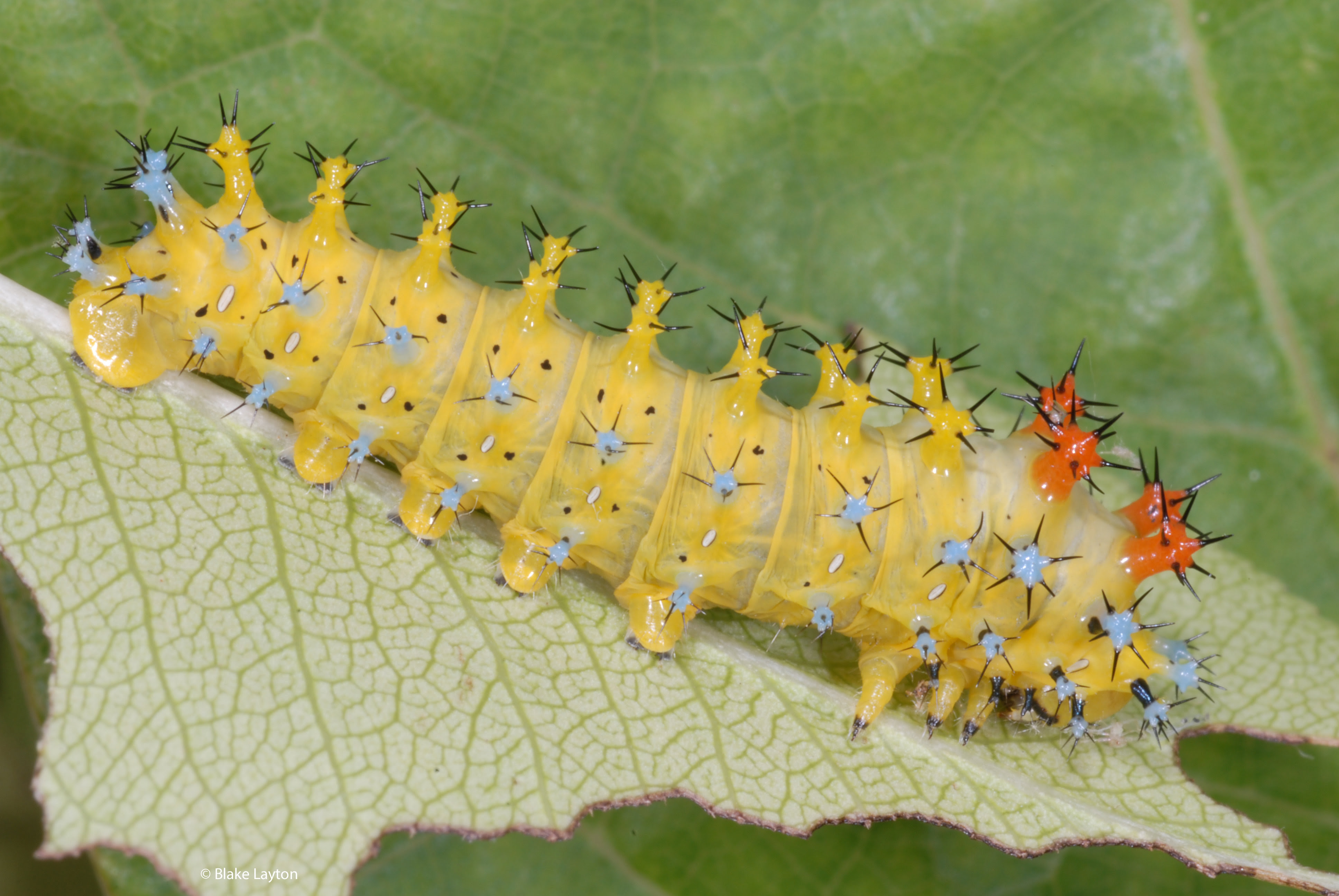 Light yellow caterpillar with light blue and orange areas covered in black spikes.