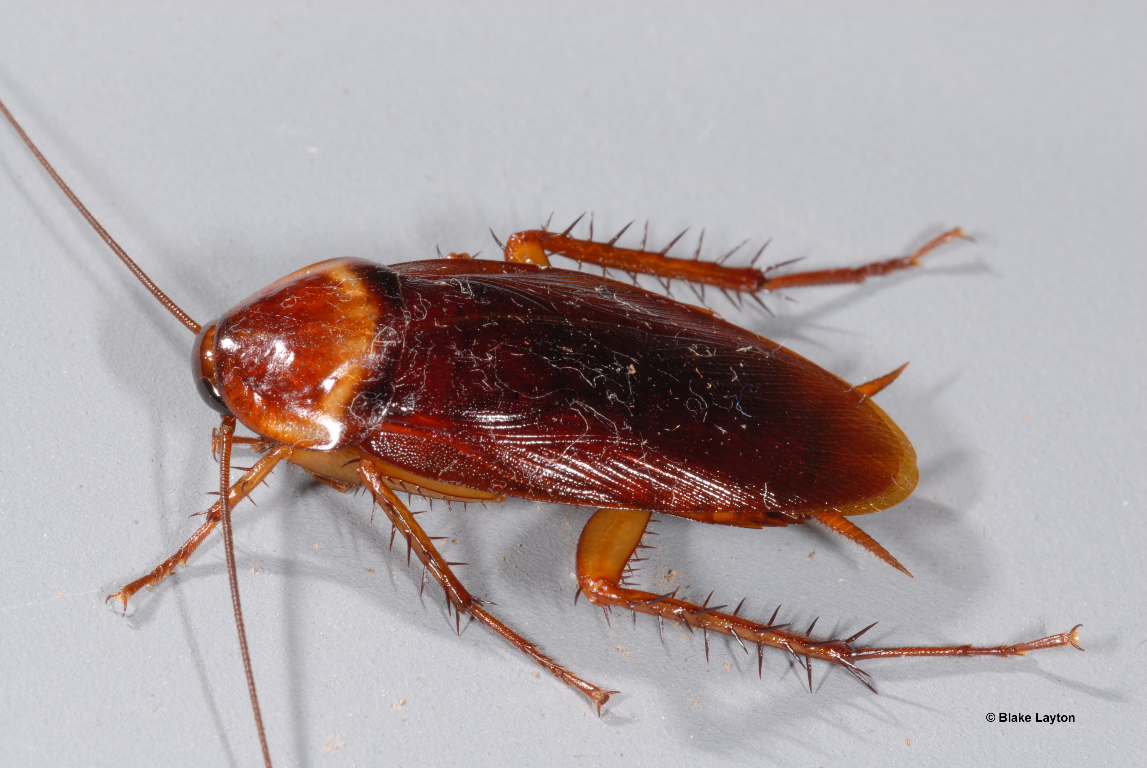 Brown roach with four visible legs and long whiskers.