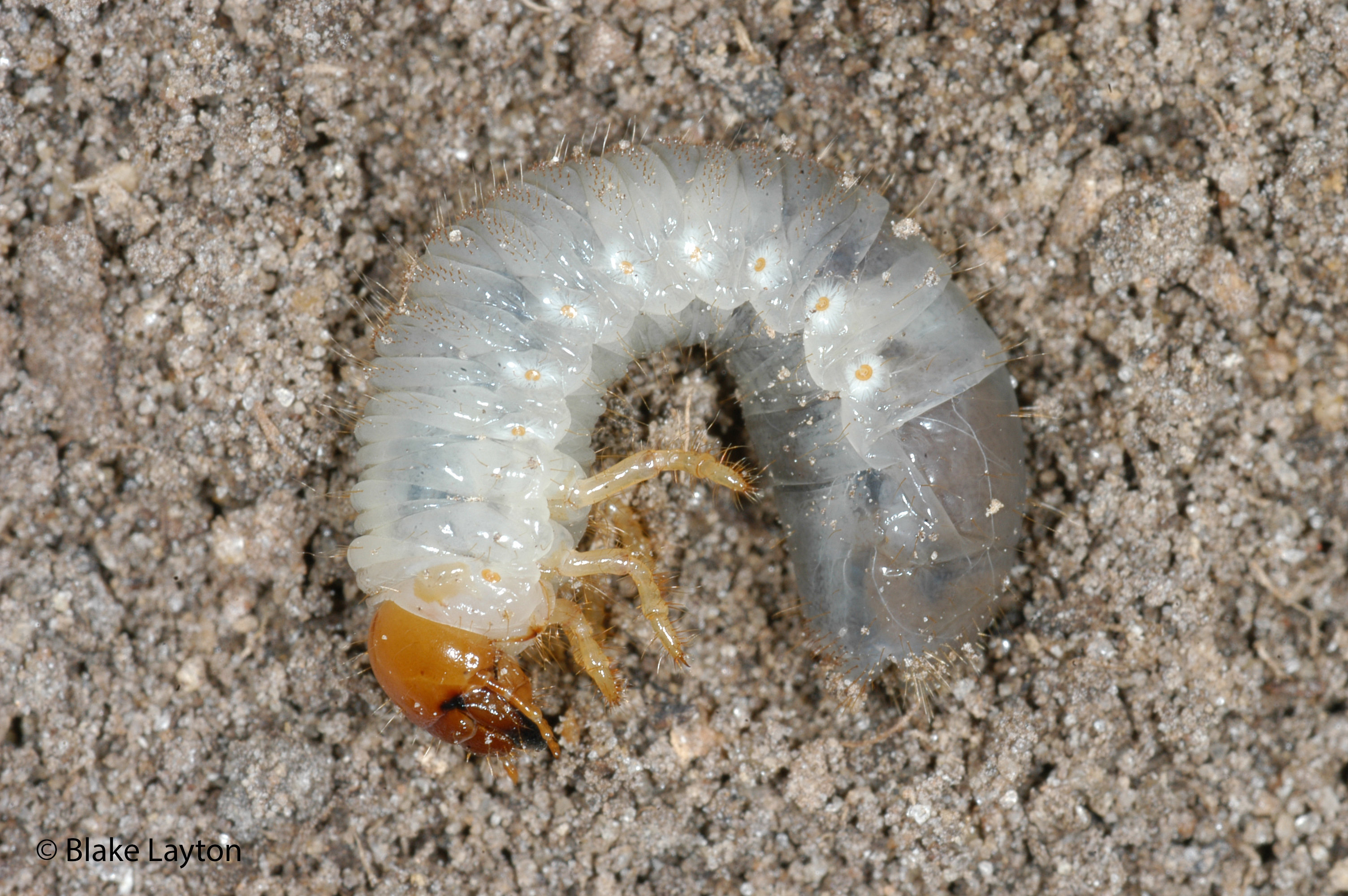 "A white-tinted translucent bug with an orange head is curled into the shape of the letter ""C"" on brown dirt."